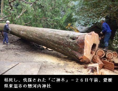 伐採されたご神木