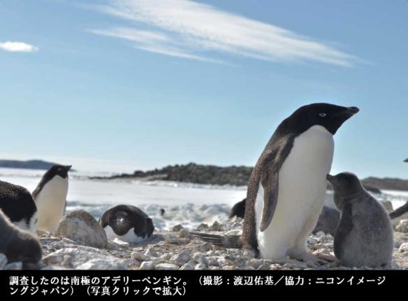 ペンギン目線カメラで生態解明7
