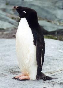 ペンギン目線カメラで生態解明8