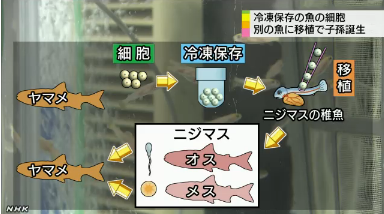 絶滅危惧の魚 細胞移植で保存2