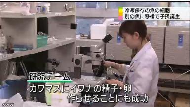 絶滅危惧の魚 細胞移植で保存3