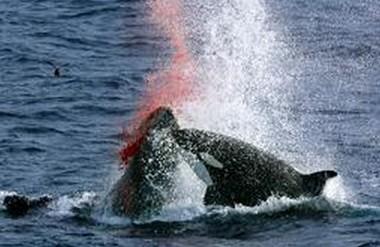 氷ない北極海、コククジラ襲うシャチ_関口圭子・ハワイ大ヒロ校客員教授(鯨類学)