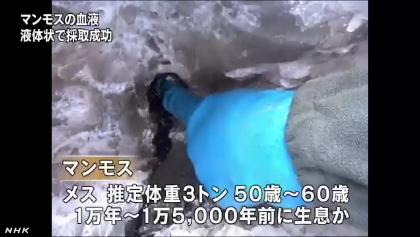 マンモスから血液採取に成功(NHK13-5-31)2