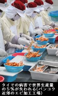 タイのエビ養殖半減 食卓を直撃