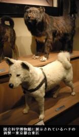 ハチ公の剥製(国立科学博物館)