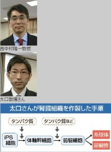 iPS細胞から腎臓組織 世界初、熊本大チーム(くまにちコム2013年12月13日)