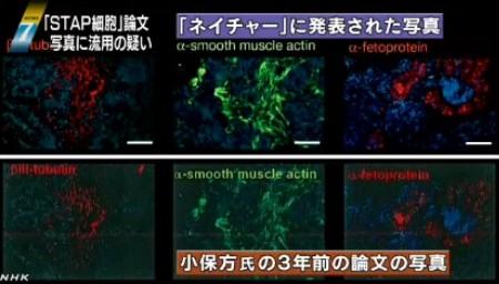 STAP細胞、写真流用の疑いで理研が調査開始_NHK2014-3-11_画像3