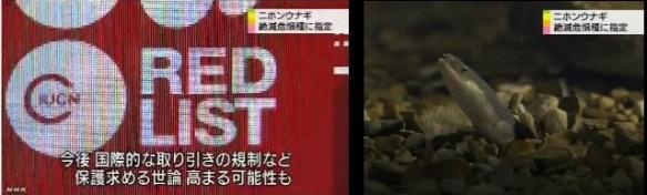 ニホンウナギ 絶滅危惧種に指定_NHKニュース6月12日_5