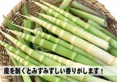 ネマガリタケ_画像2