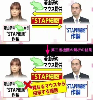 分析結果、STAPの存在否定<若山教授・記者会見>図解