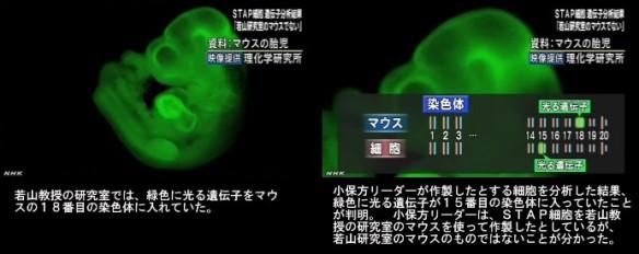 分析結果、STAPの存在否定<若山教授・記者会見>NHKニュース2014年6月16日_画像07