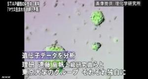 STAP細胞 遺伝子データに説明と矛盾する点(NHKニュース6月11日)_2