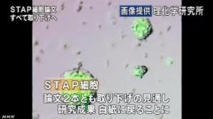 STAP細胞_全論文撤回へ_研究成果白紙に(NHKニュース2014年6月4日)_画像8