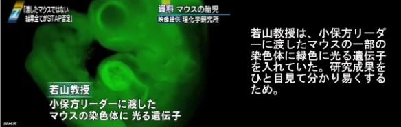 STAP細胞問題_若山教授のマウスと小保方STAP細胞の遺伝子情報の不一致_画像02