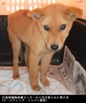 夢之丞(ゆめのすけ)・災害救助犬_広島県動物愛護センターから引き取られた頃の写真