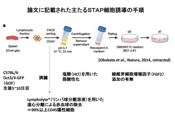 小保方・STAP細胞論文に記載された主たるSTAP細胞誘導の手順