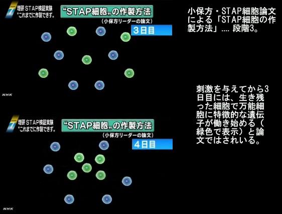 STAP細胞再現できず、理研中間報告_画像解説03